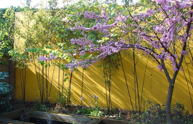 yellow painted rendered wall with cherry blossom in foreground - Carol Whitehead garden design