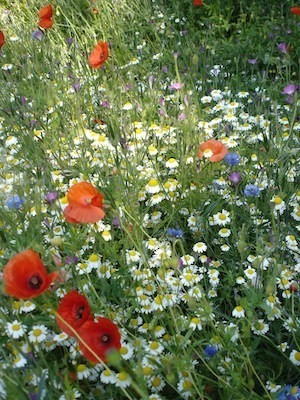 are you nectar rich meadow n1 cornflowers