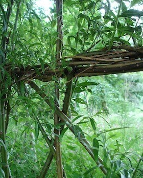 close up of living willow at Ryton Organic HDRC, Coventry