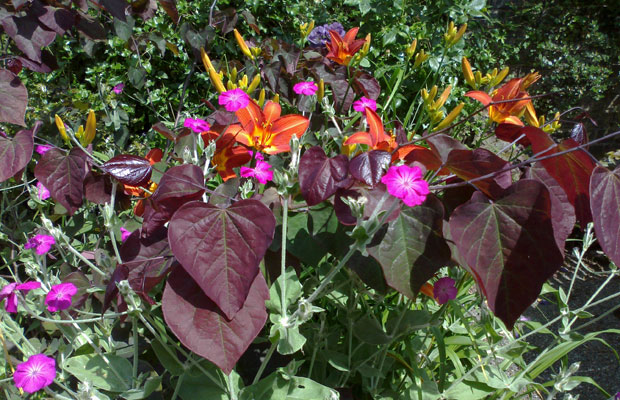 Purple Cercis Forest Pansy, burnt orange Hemerocallis, and magenta Lychnis put on a colourful display - Carol Whitehead garden design