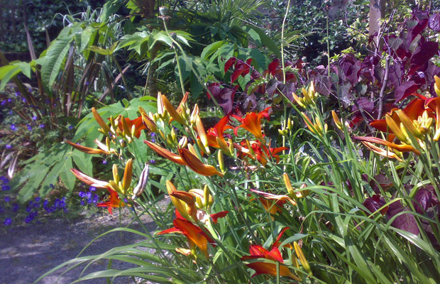Lush planting of Hemerocallis (day lilies), Tetrapanax and Cercis canadensis Forest Pansy - Carol Whitehead garden design