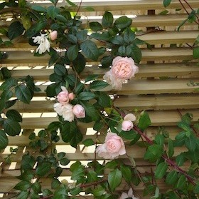 roses and honeysuckle on horizontal blind screen