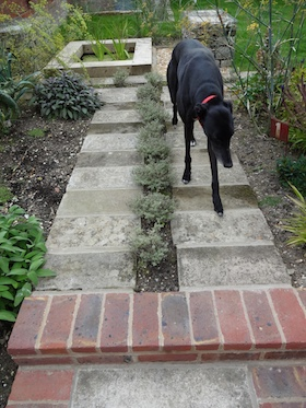 black greyhound on recycled herb path
