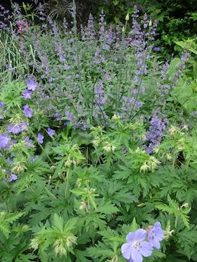 blue geraniums and nepeta