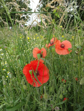 wild flower meadow carol whitehead garden design