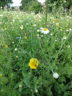 wild flower meadow seaford allotments carol whitehead garden design