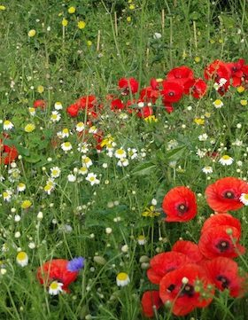 wild flower meadow carol whitehead garden design sussex