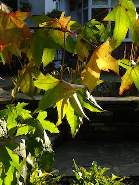 liquidambar tree sunlight picks up colour through leaves
