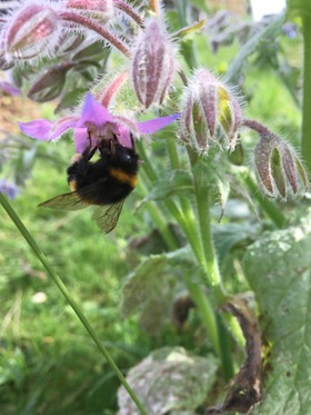 bumble bee feeding on borage