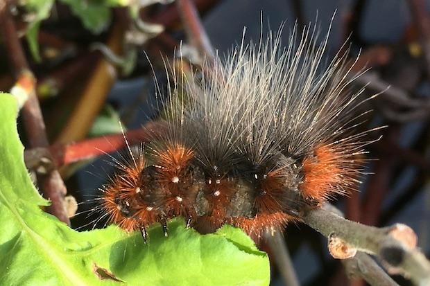 natures beautiful caterpillars