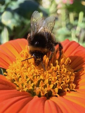 bumble bee on tithonia flower
