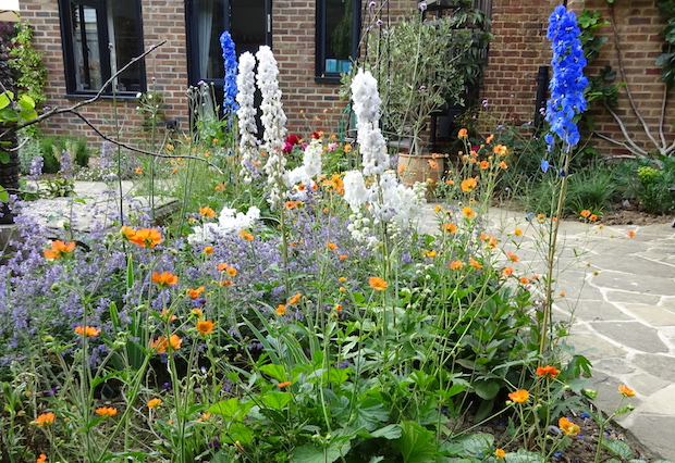 delphiniums and geum planting